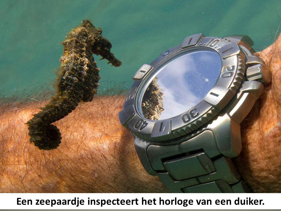 Een zeepaardje inspecteert het horloge van een duiker.