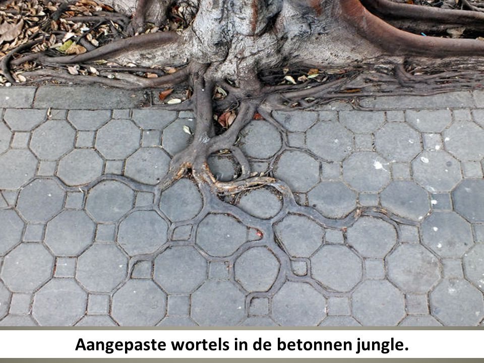 Aangepaste wortels in de betonnen jungle.