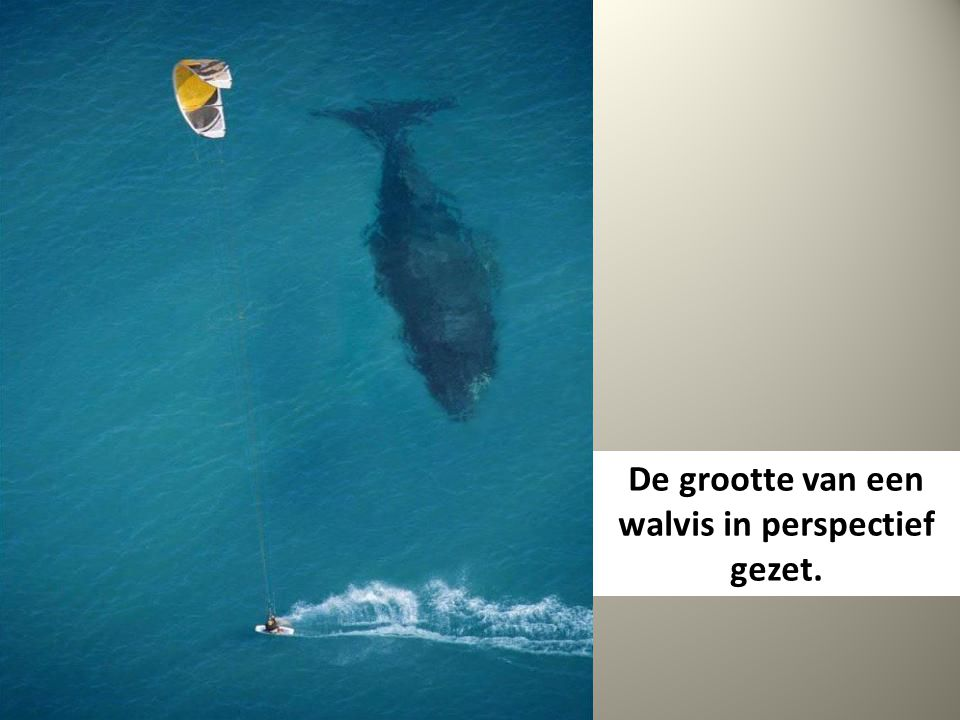 De grootte van een walvis in perspectief gezet.