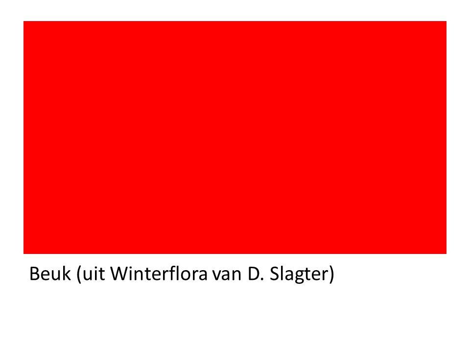Beuk (uit Winterflora van D. Slagter)