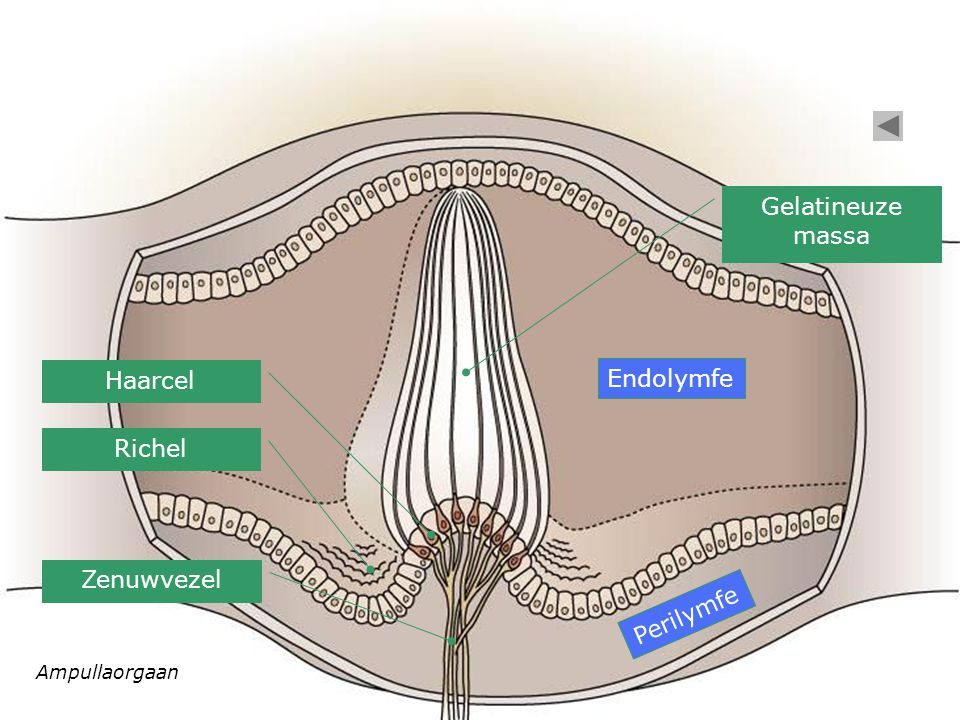 Gelatineuze massa Haarcel Endolymfe Richel Zenuwvezel Perilymfe