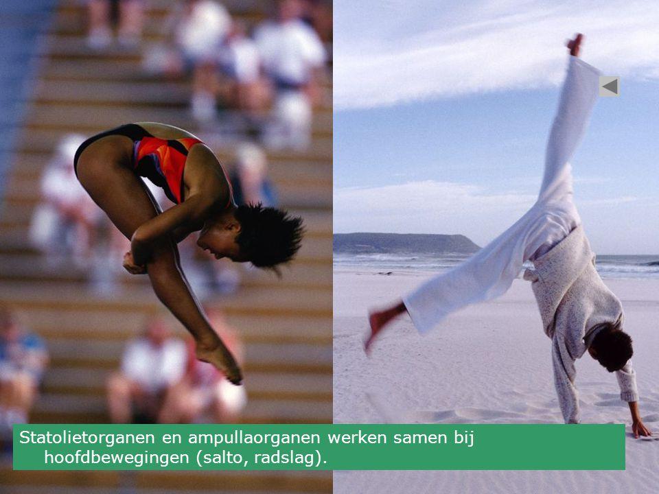 Statolietorganen en ampullaorganen werken samen bij hoofdbewegingen (salto, radslag).