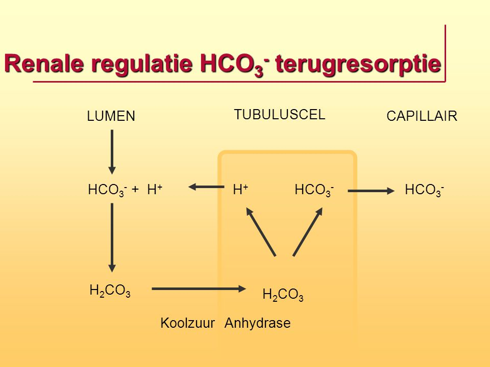 Renale regulatie HCO3- terugresorptie