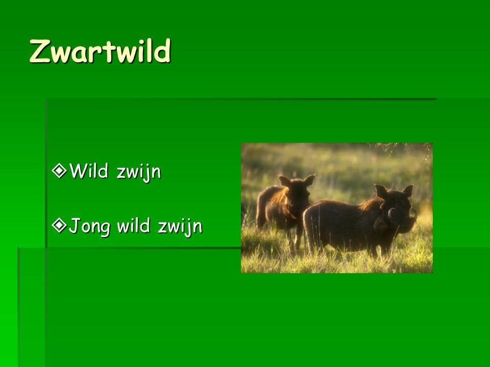 Zwartwild Wild zwijn Jong wild zwijn