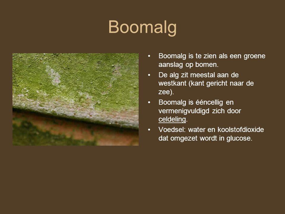 Boomalg Boomalg is te zien als een groene aanslag op bomen.