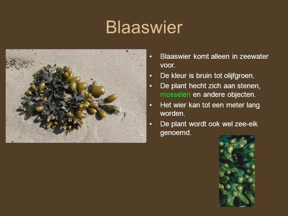 Blaaswier Blaaswier komt alleen in zeewater voor.