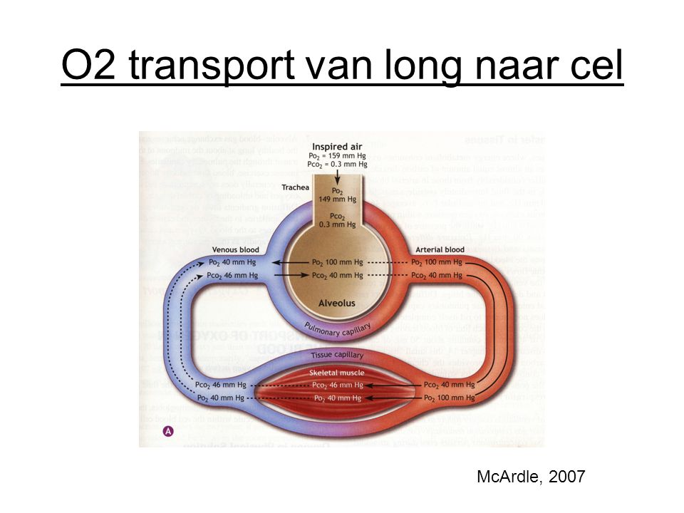 O2 transport van long naar cel