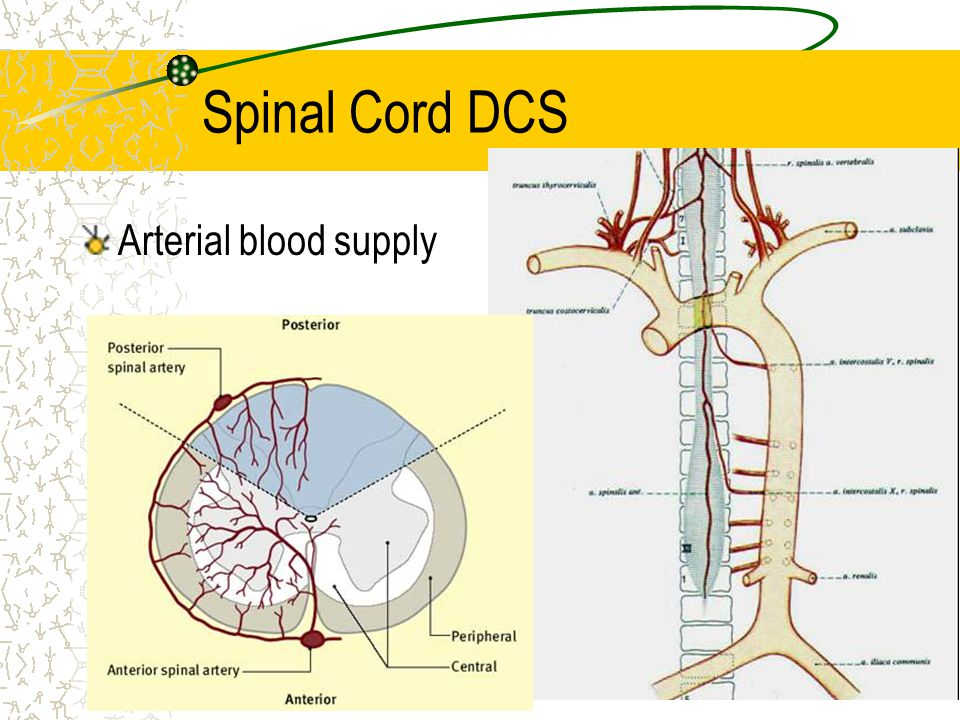 Spinal Cord DCS Arterial blood supply