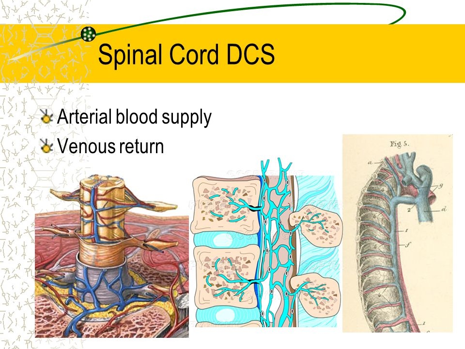 Spinal Cord DCS Arterial blood supply Venous return