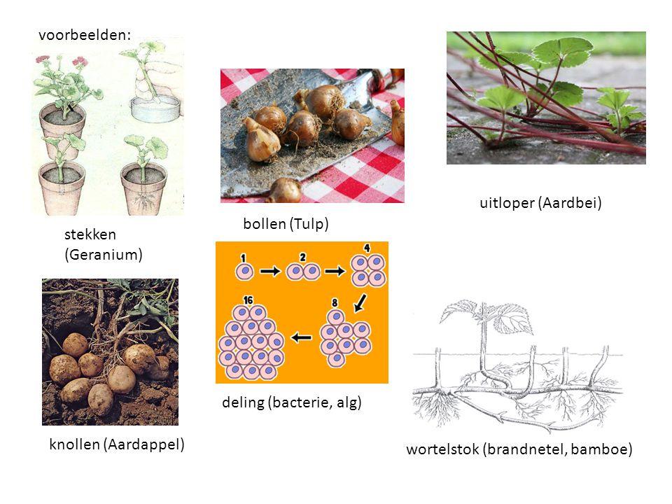voorbeelden: uitloper (Aardbei) bollen (Tulp) stekken (Geranium) deling (bacterie, alg) knollen (Aardappel)