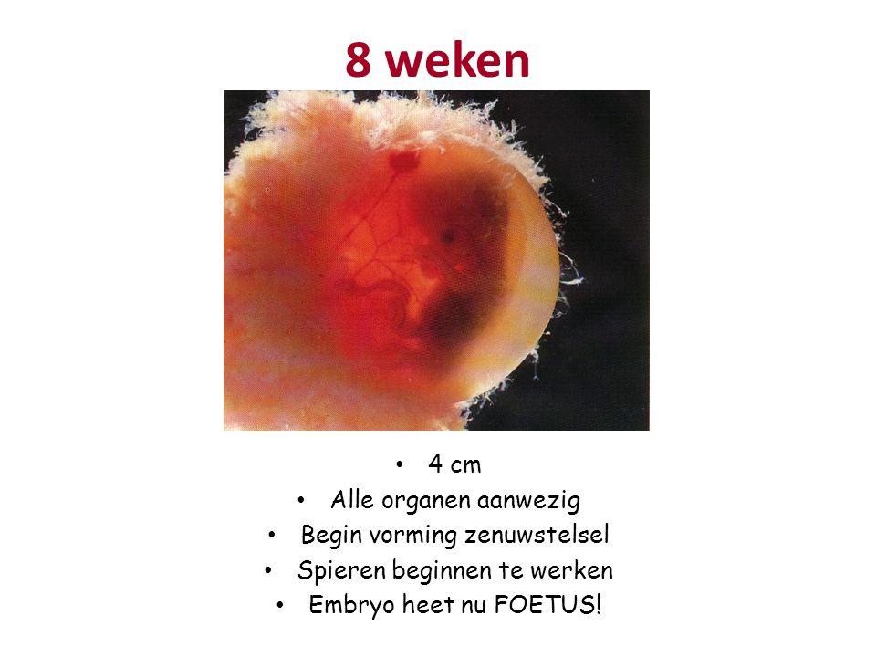 8 weken 4 cm Alle organen aanwezig Begin vorming zenuwstelsel