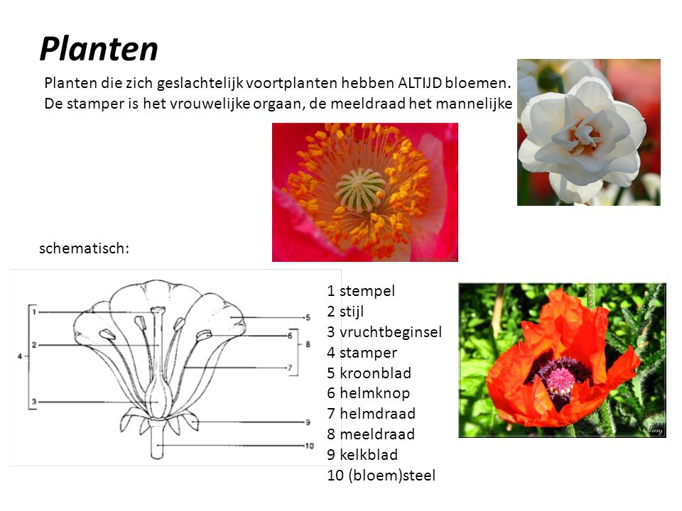 Planten Planten die zich geslachtelijk voortplanten hebben ALTIJD bloemen. De stamper is het vrouwelijke orgaan, de meeldraad het mannelijke.