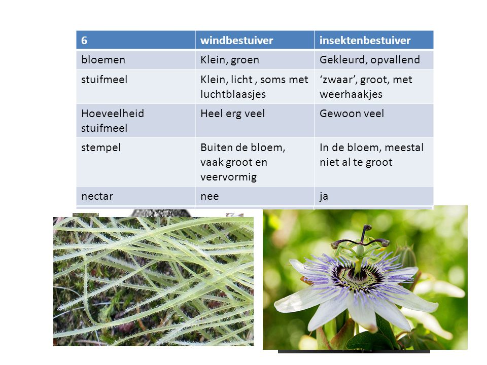 5 windbestuiver. insektenbestuiver. bloemen. Klein, groen. Gekleurd, opvallend. stuifmeel. Klein, licht , soms met luchtblaasjes.