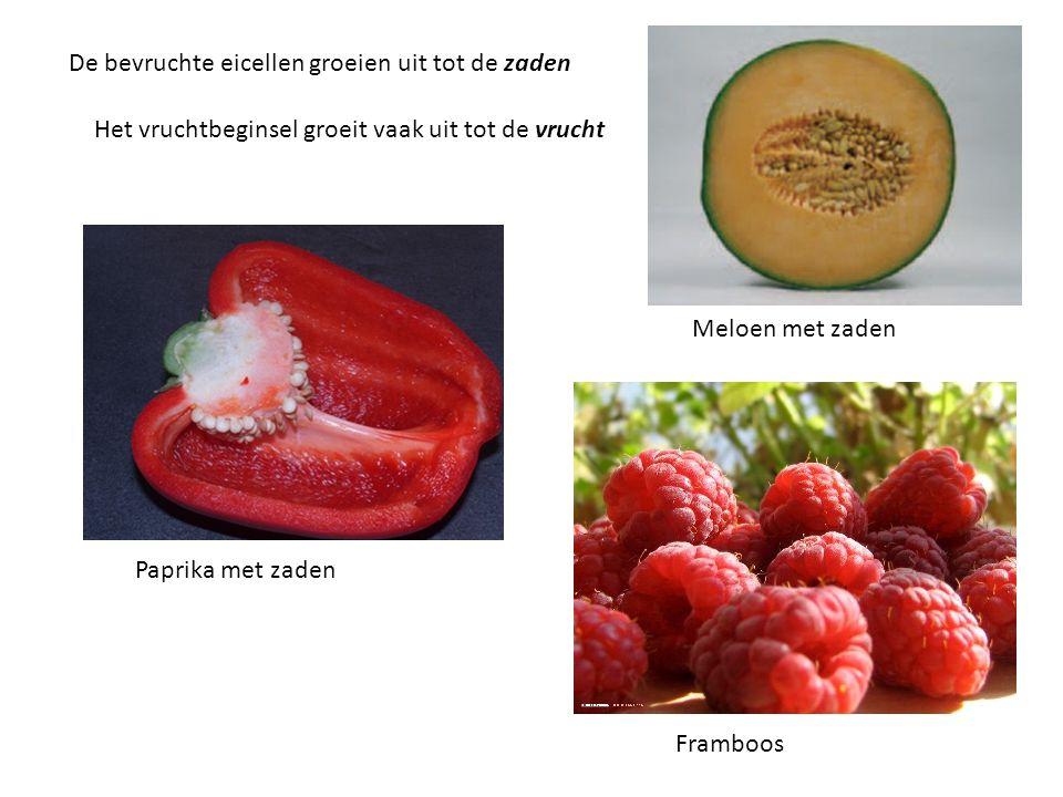 De bevruchte eicellen groeien uit tot de zaden