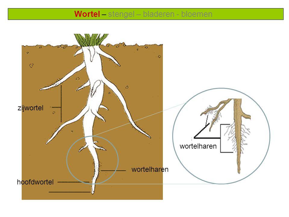 Wortel – stengel – bladeren - bloemen