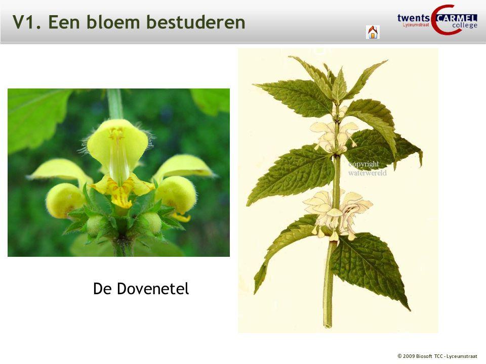 V1. Een bloem bestuderen De Dovenetel