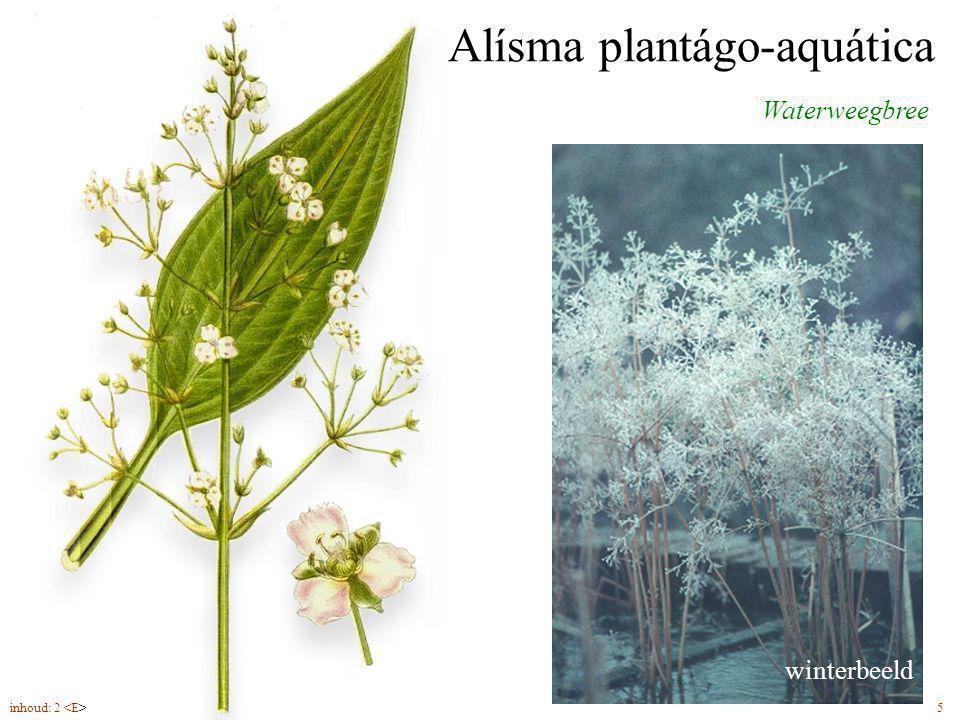 Alísma plantágo-aquática