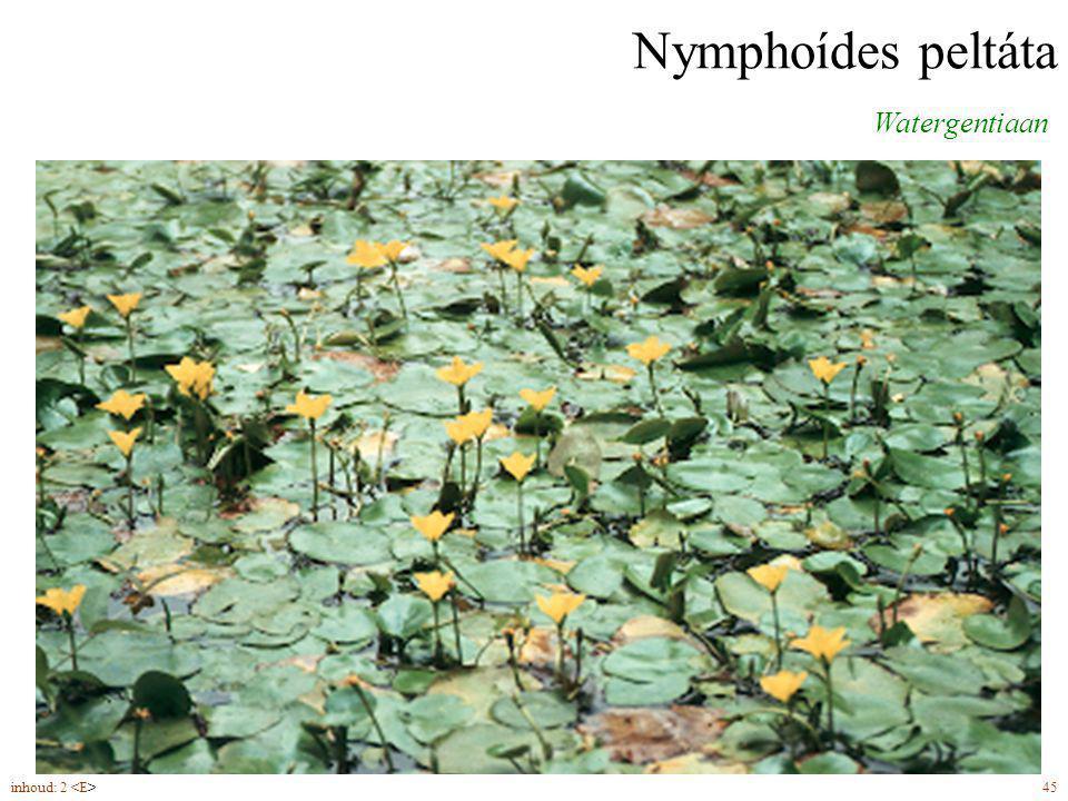 Nymphoídes peltáta Watergentiaan bloemen (7-9) in schermen