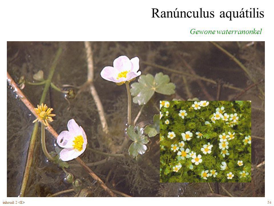 Ranúnculus aquátilis Gewone waterranonkel drijvende bladeren