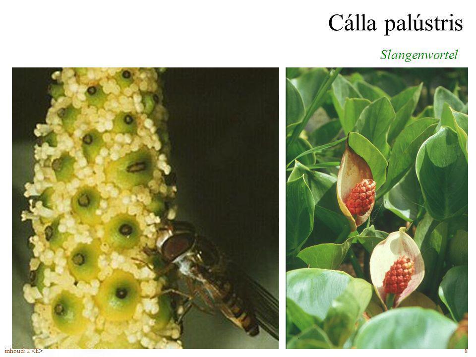 Cálla palústris wit schutblad (5-6) staartvormig toegespitst