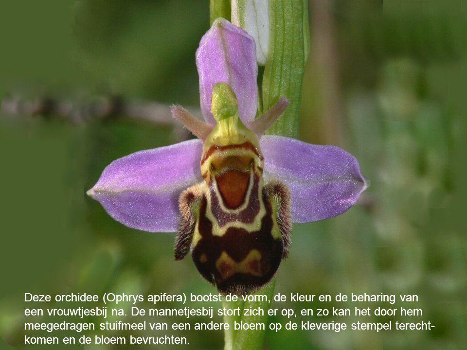 Deze orchidee (Ophrys apifera) bootst de vorm, de kleur en de beharing van