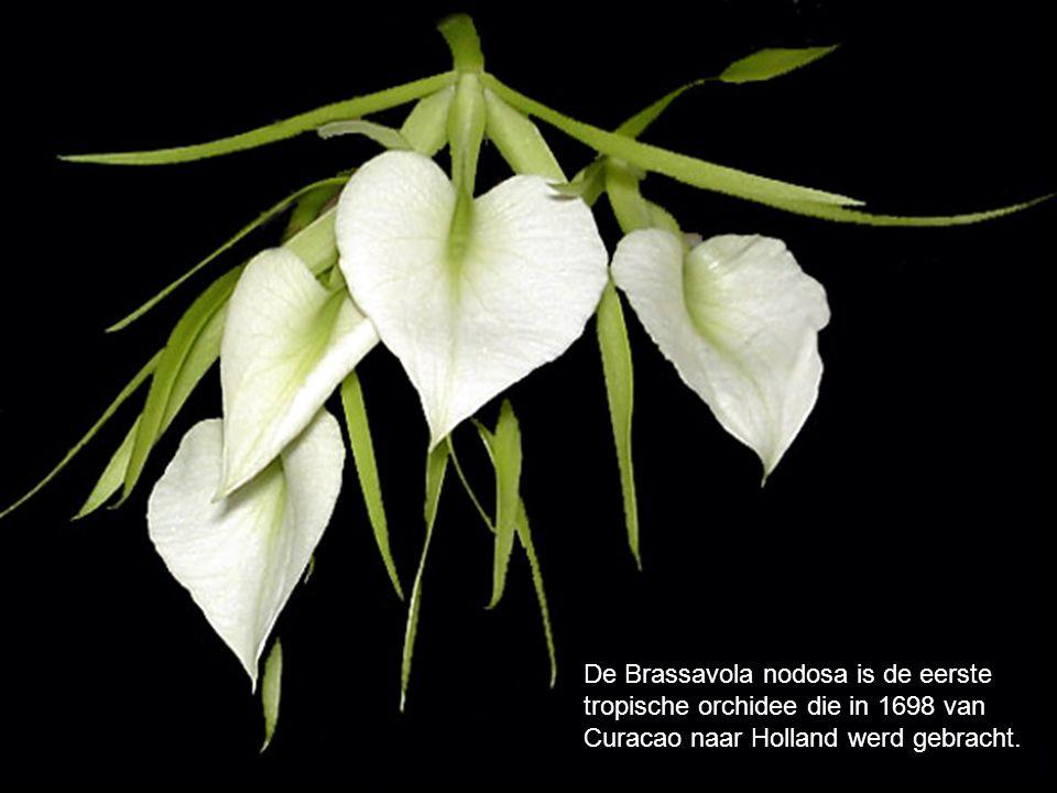 De Brassavola nodosa is de eerste