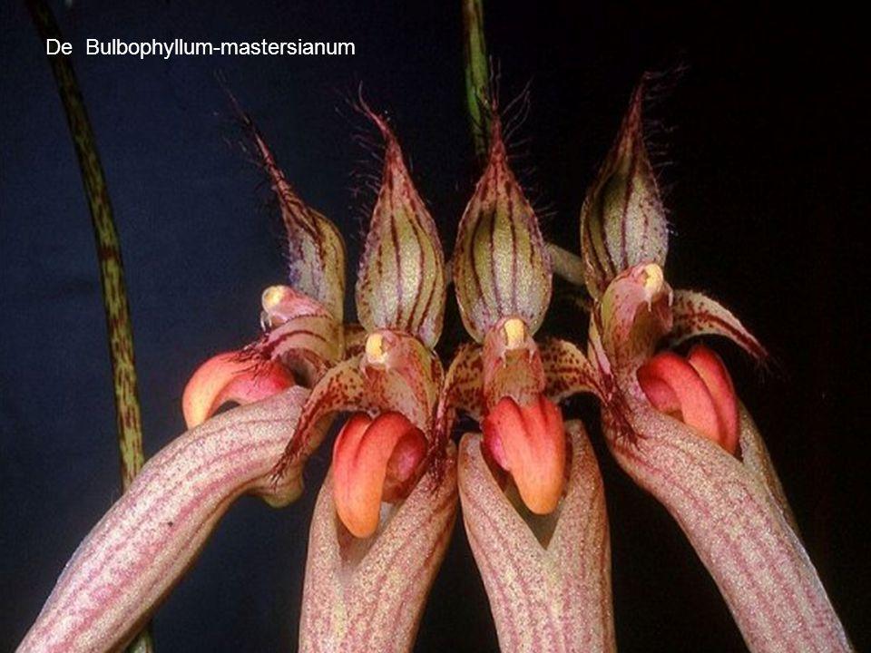 De Bulbophyllum-mastersianum