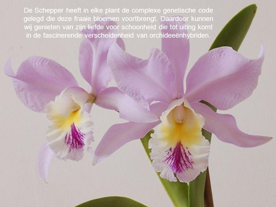De Schepper heeft in elke plant de complexe genetische code gelegd die deze fraaie bloemen voortbrengt. Daardoor kunnen wij genieten van zijn liefde voor schoonheid die tot uiting komt in de fascinerende verscheidenheid van orchideeënhybriden.