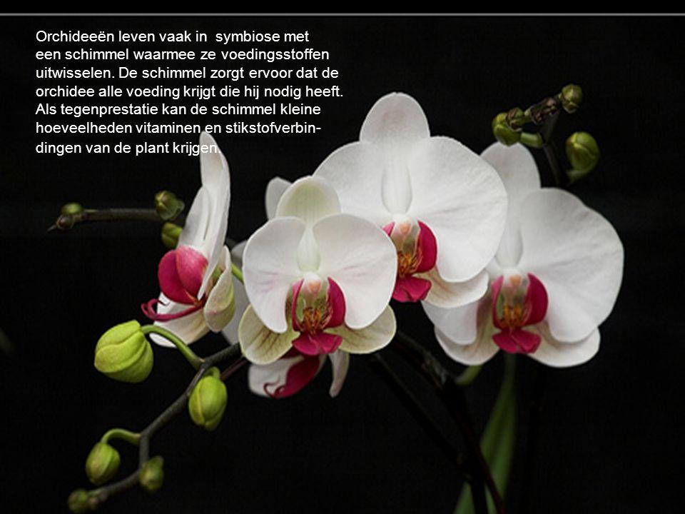 Orchideeën leven vaak in symbiose met een schimmel waarmee ze voedingsstoffen uitwisselen. De schimmel zorgt ervoor dat de orchidee alle voeding krijgt die hij nodig heeft. Als tegenprestatie kan de schimmel kleine hoeveelheden vitaminen en stikstofverbin-dingen van de plant krijgen.