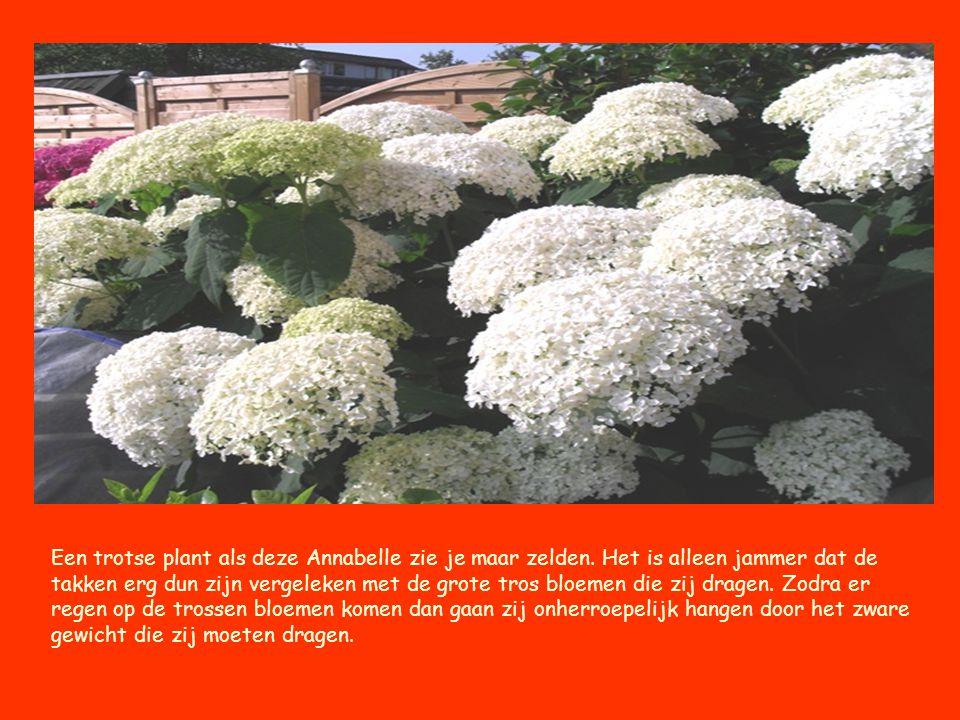 Een trotse plant als deze Annabelle zie je maar zelden