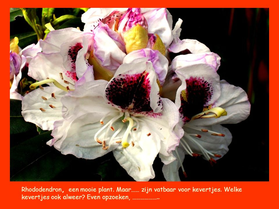 Rhododendron, een mooie plant. Maar…… zijn vatbaar voor kevertjes