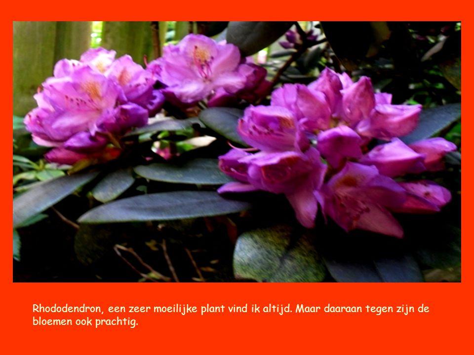 Rhododendron, een zeer moeilijke plant vind ik altijd