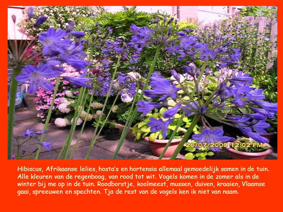 Hibiscus, Afrikaanse lelies, hosta's en hortensia allemaal gemoedelijk samen in de tuin.