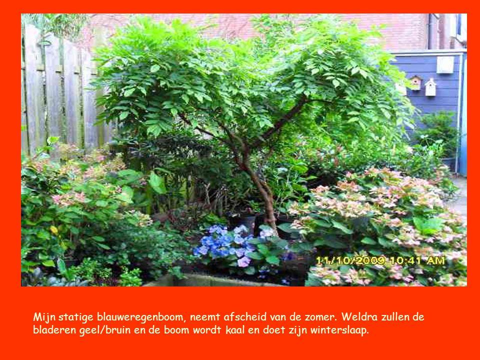 Mijn statige blauweregenboom, neemt afscheid van de zomer