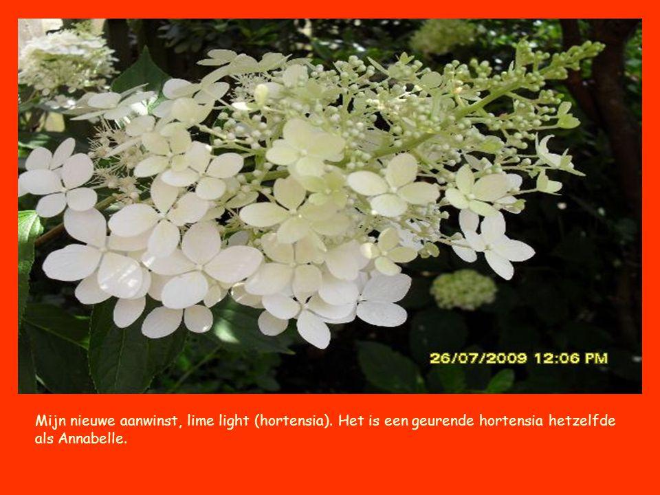 Mijn nieuwe aanwinst, lime light (hortensia)