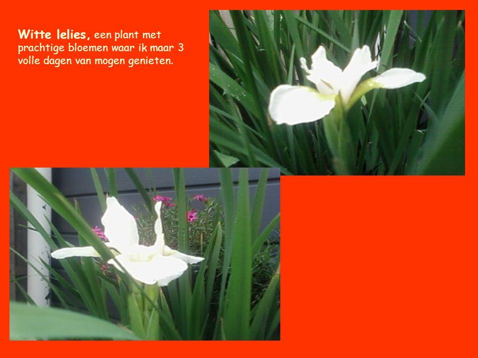 Witte lelies, een plant met prachtige bloemen waar ik maar 3 volle dagen van mogen genieten.