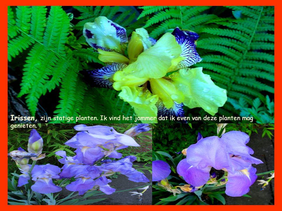 Irissen, zijn statige planten