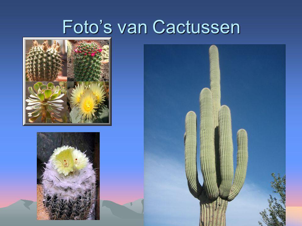 Foto's van Cactussen