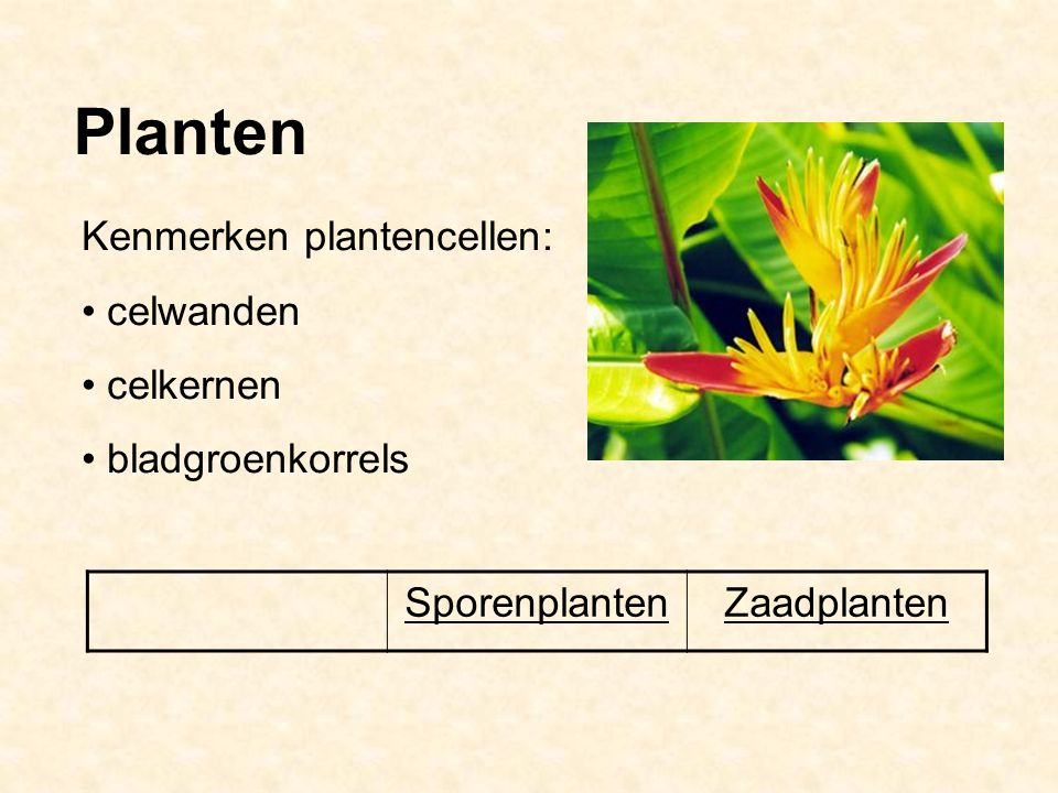 Planten Kenmerken plantencellen: celwanden celkernen bladgroenkorrels