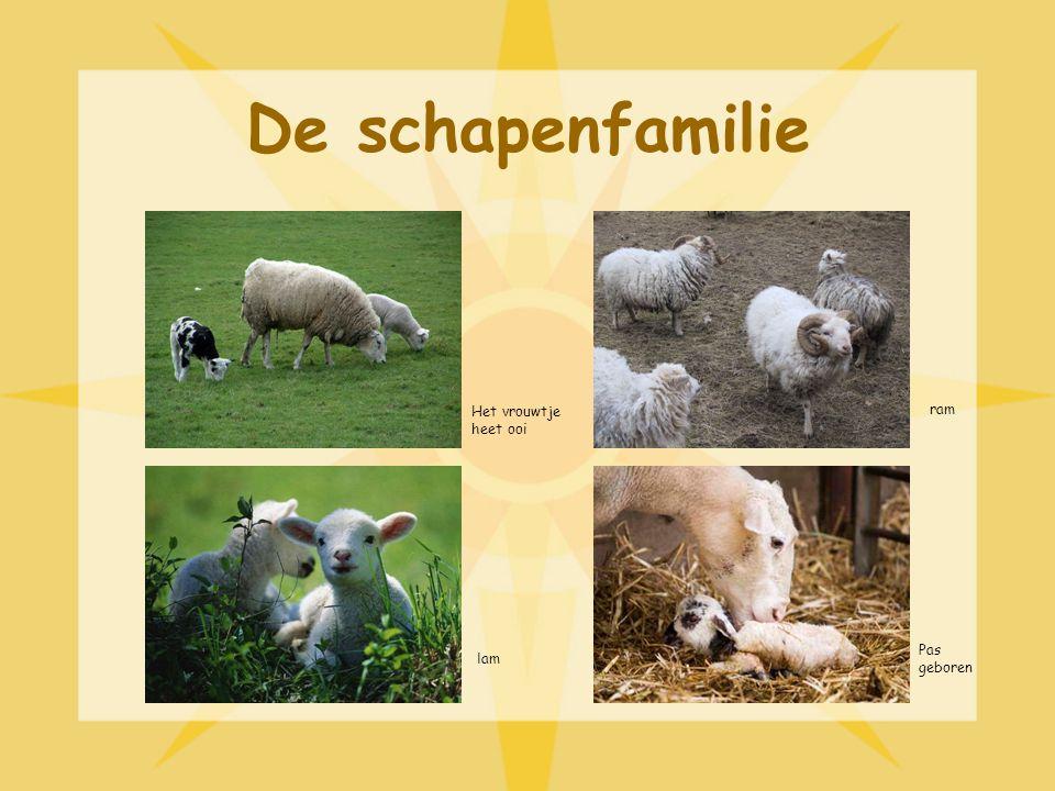 De schapenfamilie Het vrouwtje heet ooi ram Pas geboren lam
