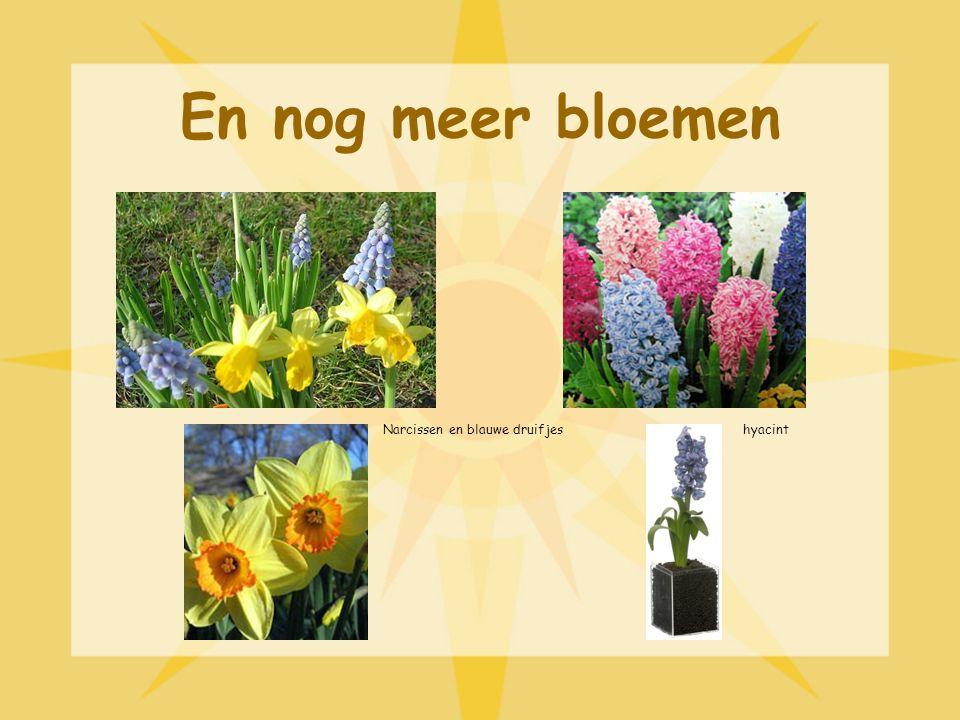 En nog meer bloemen Narcissen en blauwe druifjes hyacint