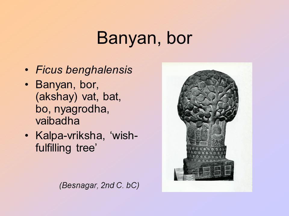 Banyan, bor Ficus benghalensis