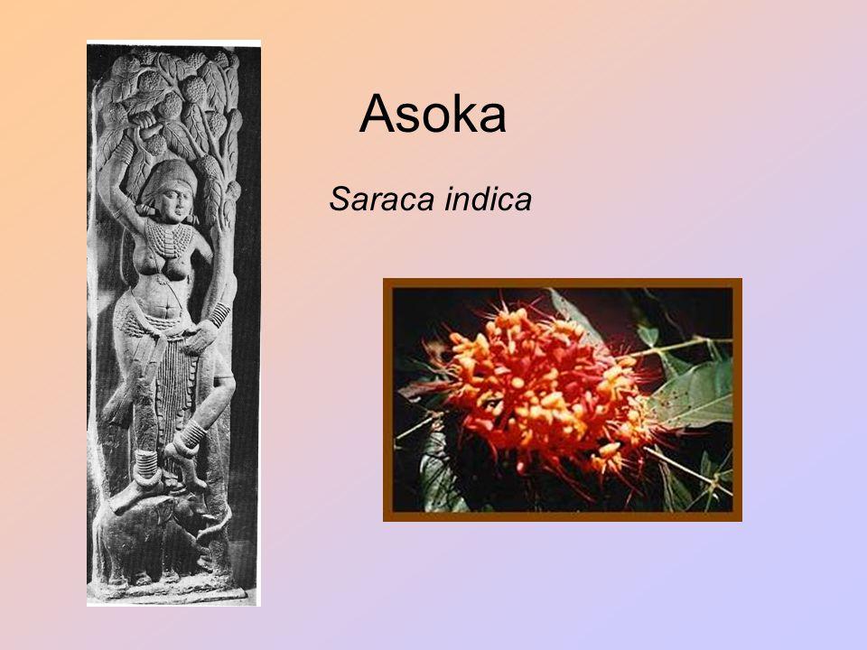 Asoka Saraca indica.