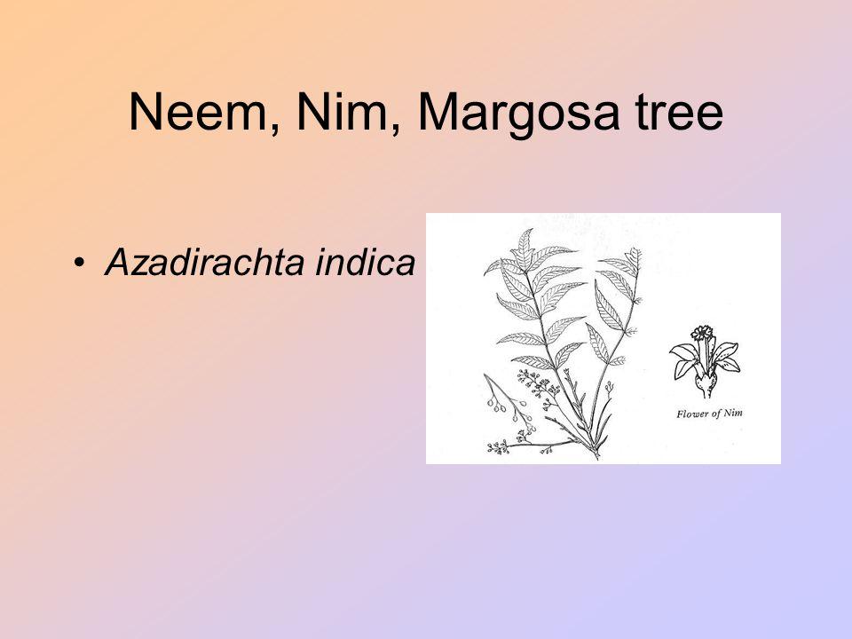 Neem, Nim, Margosa tree Azadirachta indica Shitala Devi (waterpokken);