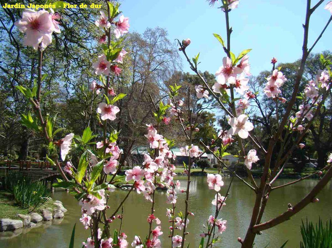Jardín Japonés - Flor de dur