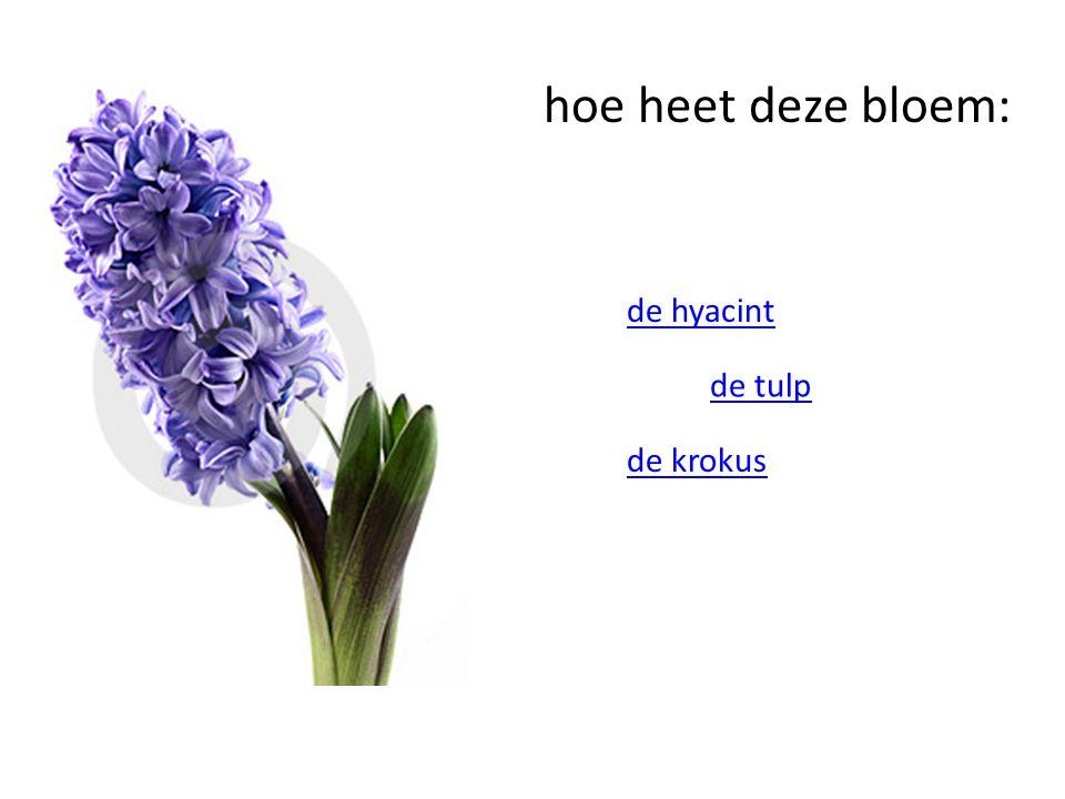 hoe heet deze bloem: de hyacint de tulp de krokus