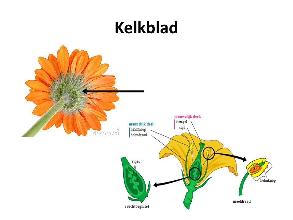 Kelkblad