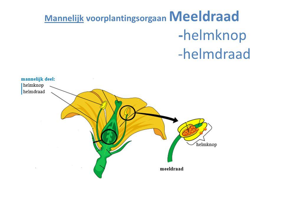 Mannelijk voorplantingsorgaan Meeldraad -helmknop -helmdraad
