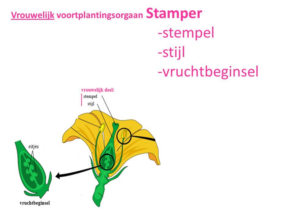 Vrouwelijk voortplantingsorgaan Stamper. -stempel. -stijl