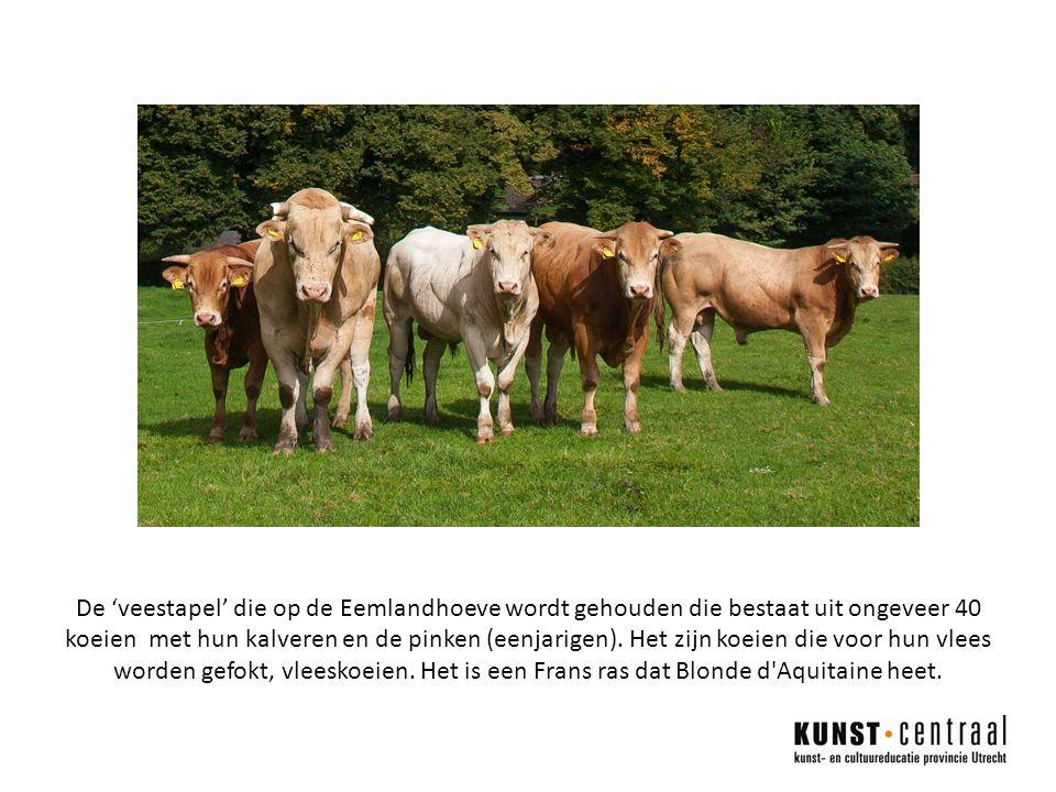 De 'veestapel' die op de Eemlandhoeve wordt gehouden die bestaat uit ongeveer 40 koeien met hun kalveren en de pinken (eenjarigen).